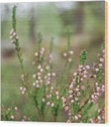 Pink Heather, Calluna Vulgaris, In Foggy Forest Wood Print