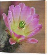 Pink Hedgehog Cactus Wood Print