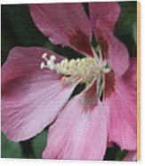 Pink Hibiscus Cose -up Wood Print