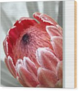 Pink Ice Protea Wood Print