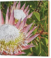 Pink King Protea Flowers Wood Print
