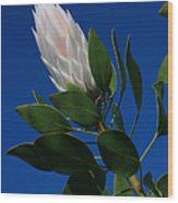 Pink King Protea Kula Maui Hawaii Wood Print