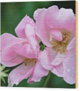 Pink Knockout Rose After The Rain Wood Print