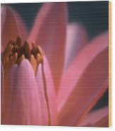 Pink Lily Close-up Wood Print