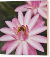 Pink Lotus Blossoms Wood Print