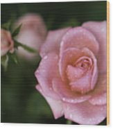 Pink Miniature Roses 3 Wood Print by Roger Snyder