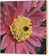 Pink Pasque Flower Wood Print