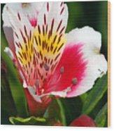 Pink Peruvian Lily 1 Wood Print