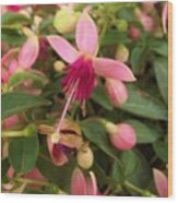 Pink Petalled Fuchsia Blooms              May         Indiana Wood Print