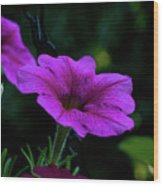 Pink Petunia, Dusk, Hunter Hill, Hagerstown, Maryland, July 25,  Wood Print