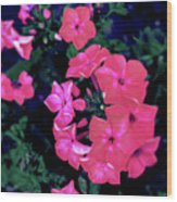 Pink Phlox Wood Print