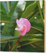 Pink Plumeria In Bloom Wood Print