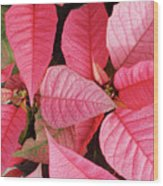 Pink Poinsettias Wood Print