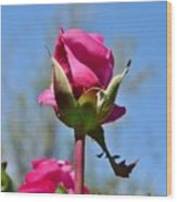Pink Rose Against Blue Sky Iv Wood Print