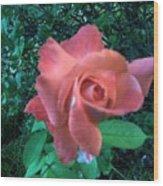 Pink Rose Awakening Wood Print
