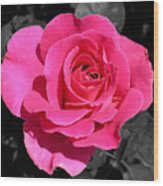 Perfect Pink Rose Wood Print