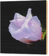 Pink Rose Of Sharon Glowing On A Black Background Wood Print