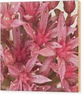 Pink Sedum Flower Macro Wood Print