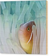 Pink Skunk Clownfish Wood Print