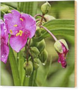 Pink Spiderwort Drip Drops Wood Print