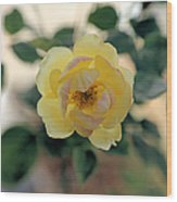 Pink Tipped Yellow Rose Wood Print