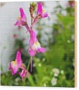 Pink Toadflax Wood Print
