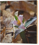 Pink Trillium In Lost Valley Wood Print