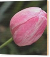Pink Tulip Closeup Wood Print