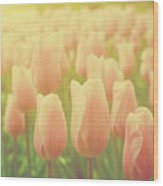 Pink Tulip Flowers In The Garden On Sunny Day In Spring Wood Print