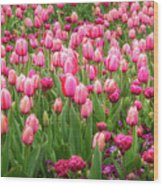Pink Tulips At Floriade In Canberra, Australia Wood Print