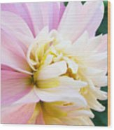 Pink White Dahlia Flower Soft Pastels Art Print Canvas Baslee Troutman Wood Print
