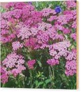 Pink Yarrows Wood Print