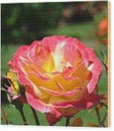 Pink Yellow Roses 3 Summer Rose Garden Giclee Art Prints Baslee Troutman Wood Print