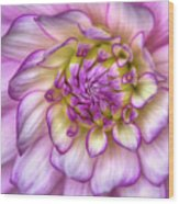Pink Zinnia Close Up Wood Print