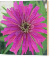 Pink Zinnia In Florida Wood Print