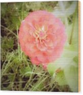 Pinkish Orange Zinnia On Green Background Wood Print