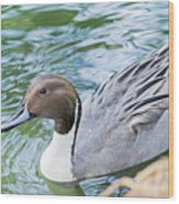 Pintail Portrait Wood Print
