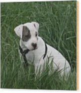 Pit Bull Puppy 5 White With Patch Wood Print