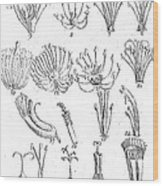 Plant Sexual Systems, Carl Linnaeus Wood Print