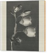 Plant Studies, 1928, Nature Series, By Karl Blossfeldt  Wood Print