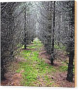 Planted Spruce Forest Wood Print