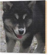 Playful Alusky Puppy Dog Ready To Pounce Wood Print