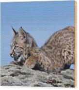 Playful Bobcat Kitten Wood Print