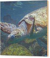 Playful Green Sea Turtle Wood Print