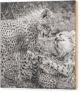 Playtime In Africa- Cheetah Cubs Acinonyx Jubatus Wood Print
