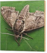 Plebeian Sphinx Moth Wood Print