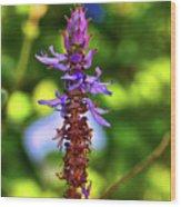 Plectranthus Caninus 002 Wood Print