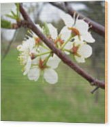 Plum Blossoms In Spring Wood Print