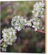 Plum Tree Blossoms Wood Print