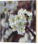 Plum Tree Blossoms II Wood Print